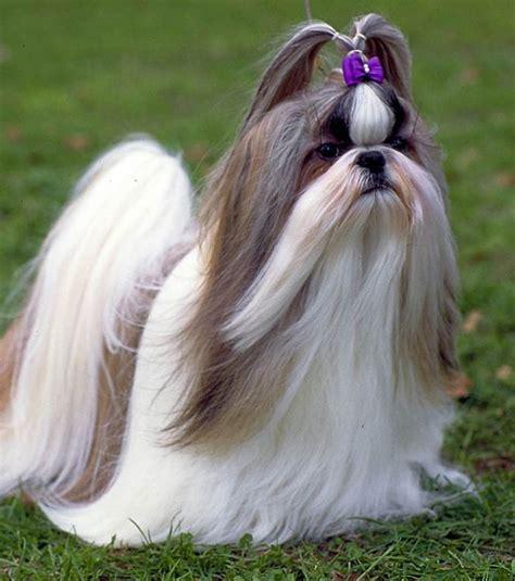shih tzu chien photo shih tsu ce chien a besoin de soins