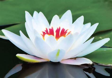 simbolo fiore di loto significato loto significato fiori significato fior di