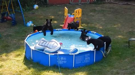 backyard pool party watch family of bears holds backyard pool party to child s dismay nbc news