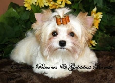 are there white yorkies golddust terrier breed information and pictures