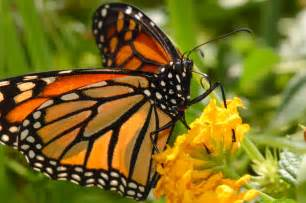 monarch butterfly pictures