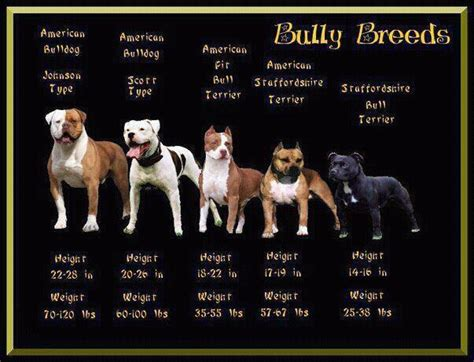 bully breeds meet the bully breeds foster dogs