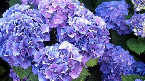 wallpaper blue hydrangea purple hydrangea wallpaper wallpapersafari