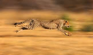 Is A Jaguar Faster Than A Cheetah Top 10 Fastest Animals In The World