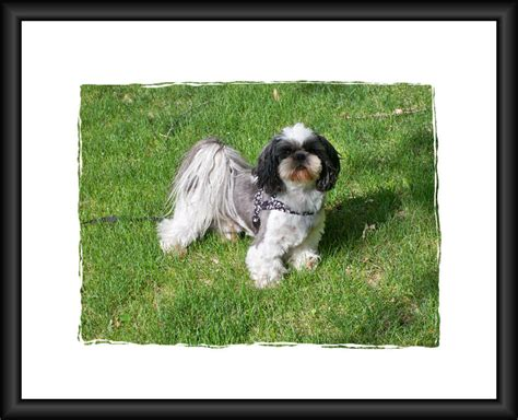 shih tzu rescue centre shih tzu rescue available dogs for adoption breeds picture