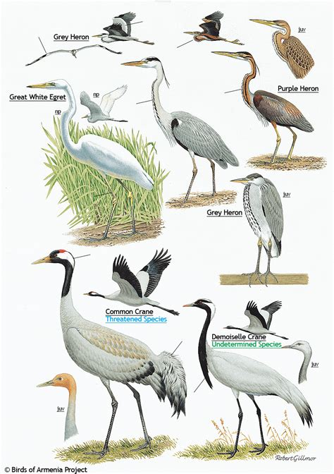 Backyard View Plate 3 Herons Egret And Cranes A Field Guide To