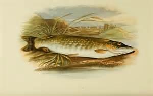 freshwater fish british freshwater fish thegentlemanangler com