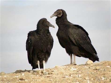 black vulture identification all about birds cornell