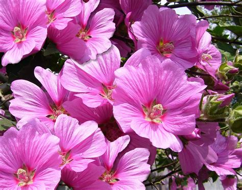 image for flowers hd pink mallow flowers free downloads webextensionline