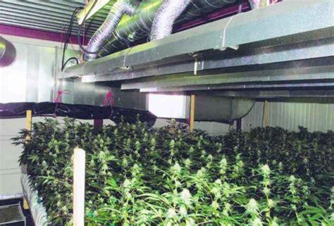 la majorit 233 du cannabis pousse en appartement ghi