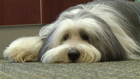 therapy dogs for anxiety baron the therapy eases anxiety for wichita dental patients the dogington post
