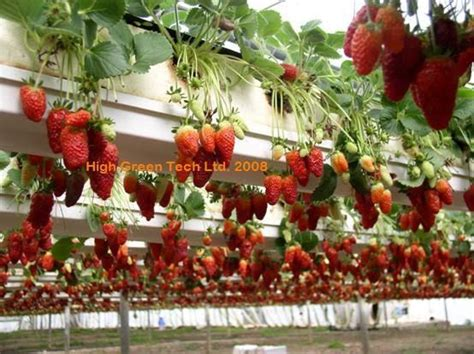 Gutter Strawberry Planter by Plant Strawberries In Elevated Beds Using Gutters