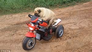 trek pug puggy the rides his electric bike and frees himself from a dip in the road daily
