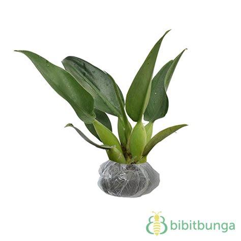 Tanaman Daun Philodendron Katak tanaman philo katak philo eceng jual tanaman hias