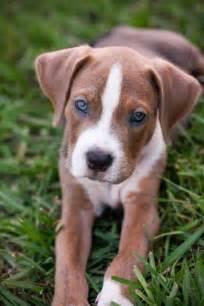 american bulldog boxer puppies american bulldog puppy american bulldog