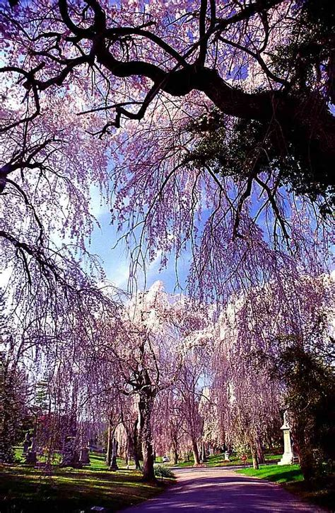 weeping cherry tree 6 foot types of prunus trees and shrubs