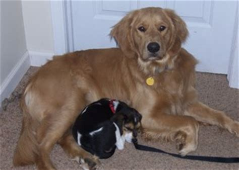 beagle x golden retriever beagle x golden retriever breeds picture