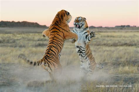 imagenes increibles y fantasticas тигры и их дикий животный магнетизм в 20 фотографиях