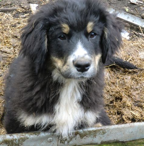 x for dogs bernese mountain x newfoundland puppies ferryhill county durham pets4homes