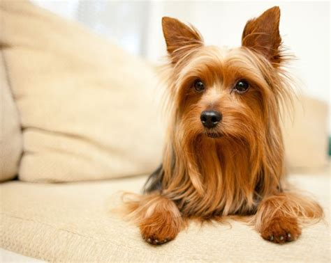 yorkie hair care products 12 best images about neat dogs on best dogs haircuts and yorkie