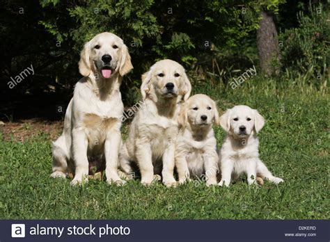 golden retriever pregnancy length golden retriever size assistedlivingcares