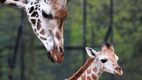 imagenes de jirafas bebés jirafa beb 233 enternece a todos youtube