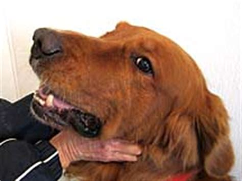 are golden retrievers bad for allergies golden retriever with allergies or yeast nzymes