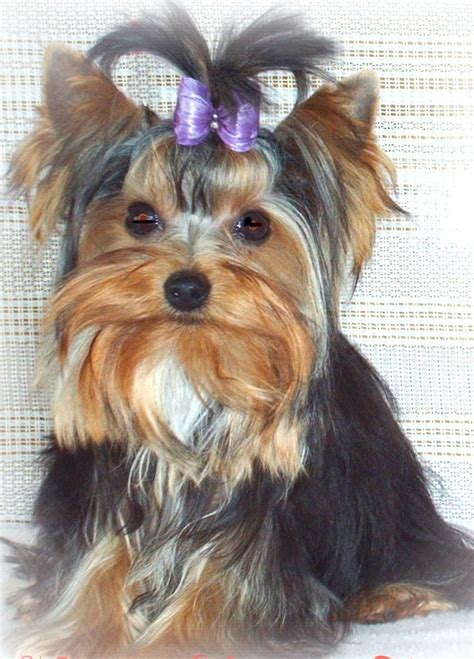 yorkies for sale in wisconsin yorkie wisconsin minnesota breeder teacup yorkie puppies for sale
