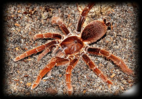 Garden King Spider Miticide King Baboon Spider Flickr Photo