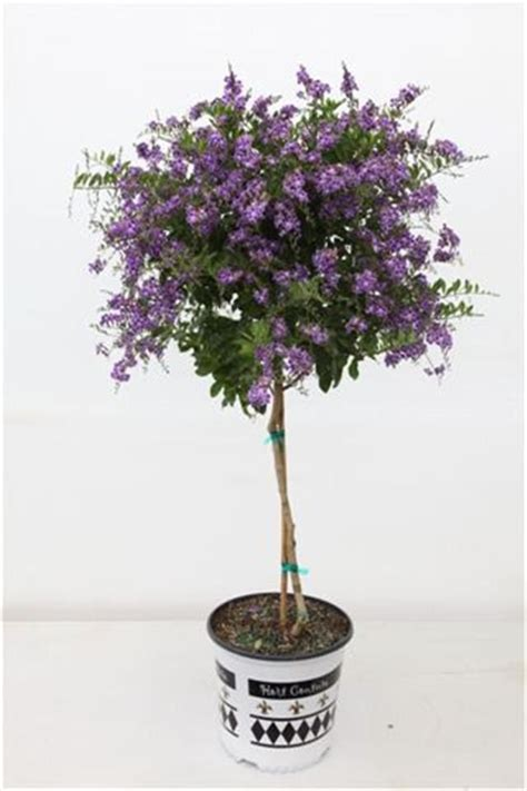 patio tree care duranta sapphire showers patio tree trees