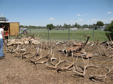 elk antler gallery arizona antler addiction