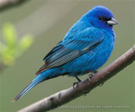 How To Attract Indigo Buntings To Your Backyard by The Indigo Bunting Is A Beautiful Blue Bird With Our Bird