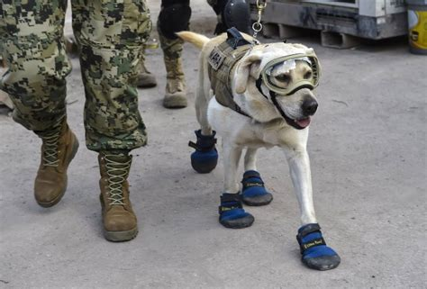 in the dog house rescue mexico city earthquake frida the rescue dog is saving lives time com