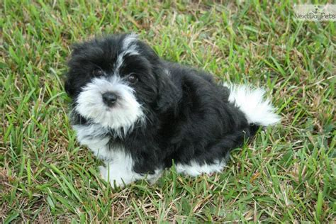 havanese mini havanese breed quotes