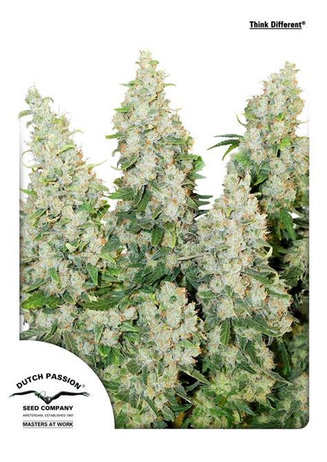 Dutch Passion Think Different Auto by Buy Think Different Auto Feminised Seeds From Dutch