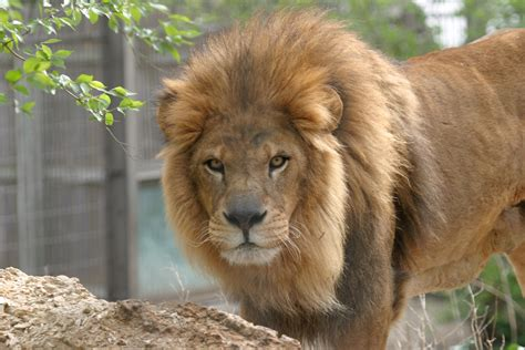 lion s lion manes linked to climate