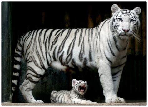 imagenes el blanco fotos tigre blanco bajo el agua archivos imagenes de tigres