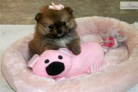 pomeranian puppies for sale in ma meet dolly a pomeranian puppy for sale for 2 000 teacup orange in ma