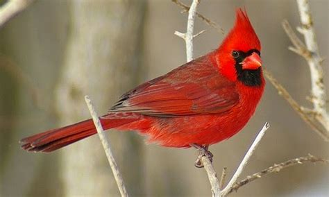 cardinal images top 10 most beautiful birds in the world fabulous
