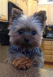 yorkie haircuts pictures only cute yorkshire terrier 16 reasons they re not so friendly