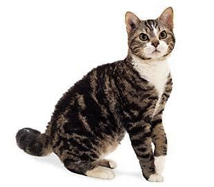 imagenes animales con pelo americano de pelo 225 spero gatospedia