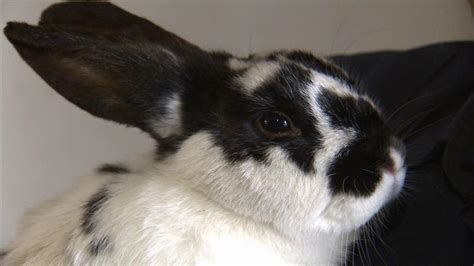 34 Punny White black and white spotted bunny www pixshark images