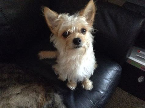 chorkie haircut styles chorkie haircut styles yorkies predicting adult weight