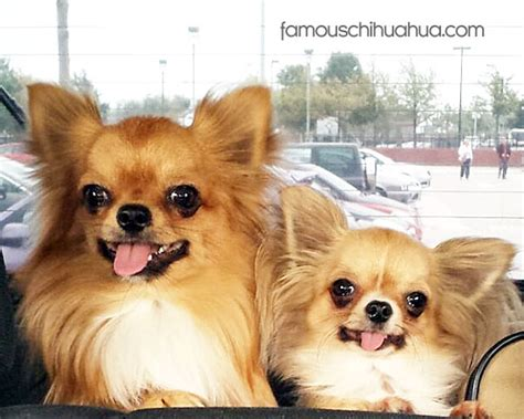 long hair chihuahua hair growth what to expect adore on pinterest chihuahuas long haired chihuahua and