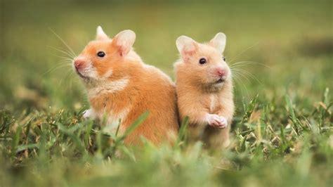 Coloriage Hamster Et Dessin 224 Imprimer