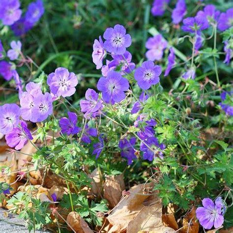winterharte pflanzen für garten 36 geranium rozanne lila winterhart garten