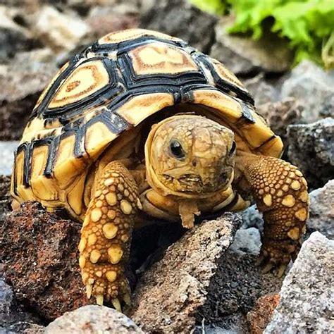 Seprai Kura Kura 1 jenis kura kura forsteni binatang peliharaan