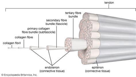 tendo struttura fibrocyte biology britannica