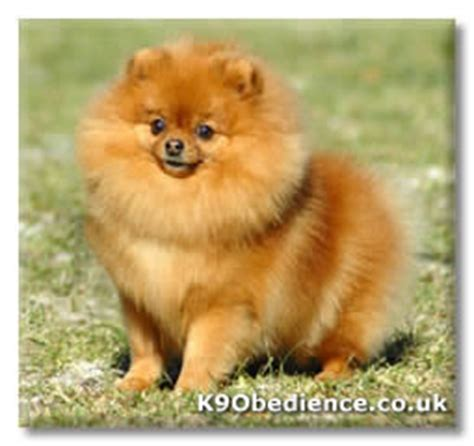 pomeranian coat care pomeranian breed profile size weight temperament coat care
