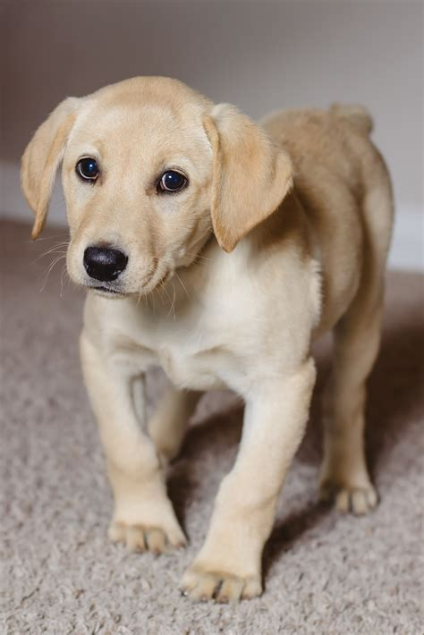 how soon can you give a puppy a bath new yellow labrador retriever coming soon